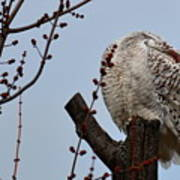 Snowy Owl Preening Art Print