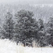Snowy Pines In The Pike National Forest Art Print