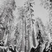 Snowy Sequoias At Calaveras Big Tree State Park Black And White 3 Art Print