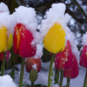 Snowy Tulips Art Print