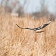 Soaring Hawk Over Field Art Print