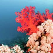 Soft Coral  Art Print
