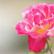 Soft As A Whisper Of A Hot Pink Rose Art Print