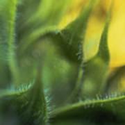 Softabstractsunflower Art Print