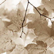 Softness Of Brown Maple Leaves Art Print