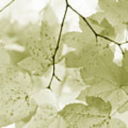 Softness Of Olive Green Maple Leaves Art Print