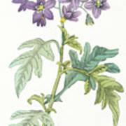 Solanum Quercifolium Art Print