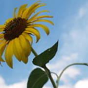 Solitary Sunflower From Below Art Print