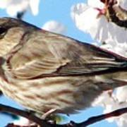 Song Sparrow Dining Out Art Print