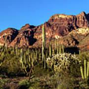 Sonoran Cacti Everywhere Art Print