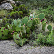 Sonoran Cactus Art Print