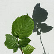 Sophisticated Shadows - Glossy Hazelnut Leaves On White Stucco - Vertical View Upwards Right Art Print