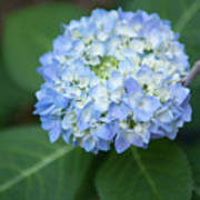 Southern Blue Hydrangea Blooming Art Print