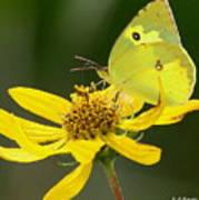 Southern Dogface Butterfly Art Print