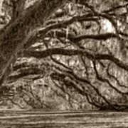 Southern Live Oak Trees Art Print