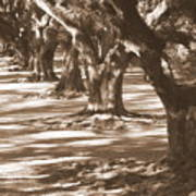 Southern Sunlight On Live Oaks Art Print