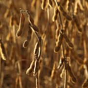 Soybean Crop In Kutztown Pa Art Print by Anna Lisa Yoder