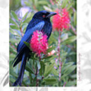Spangled Drongo Art Print