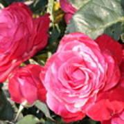 Sparkling Roses Art Print by Carol Groenen