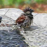 Sparrow Bath Time 9242 Art Print