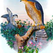 Sparrow Hawk Antique Bird Print Joseph Wolf Birds Of Great Britain  Art Print