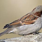Sparrow Art Print by Melanie Viola