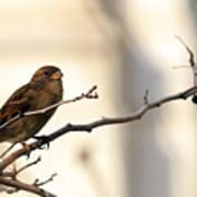 Sparrow On A Limb Art Print