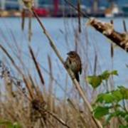 Sparrow On The Cattails Art Print