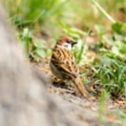 Sparrow On The Ground Art Print