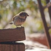 Sparrow. Art Print