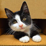 Special Delivery Tuxedo Kitten Art Print