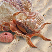 Spider Conch Shell On The Beach Art Print