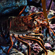 Spiney California Lobster Art Print