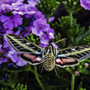 Spinx Moth Art Print