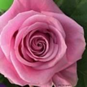 Splendid Rose Art Print