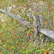 Split Rail Fence And Poison Ivy Art Print