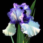 Spotlight On 'freedom Song' Bearded Iris Art Print