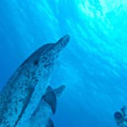 Spotted Dolphins Art Print