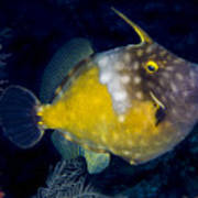 Spotted Filefish Art Print