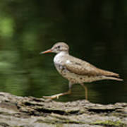 Spotted Sandpiper Art Print