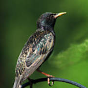 Spotted Starling Art Print
