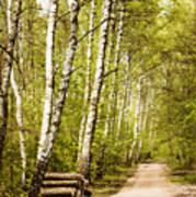 Spring Birches Woods Footpath Art Print