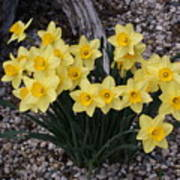 Spring Cheerleaders - Daffodils Art Print