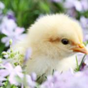 Spring Chick Art Print