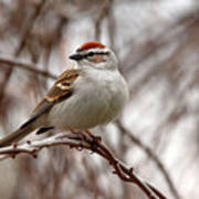 Spring Chipping Sparrow Art Print