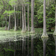 Spring Green In Cypress Swamp Art Print