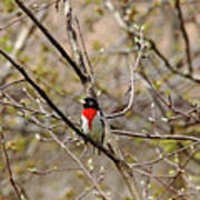 Spring Grosbeak Art Print