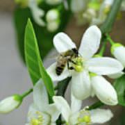 Spring Honey Bee Pollinates Orange Citrus Flower Art Print
