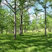 Ginkgo Grove In The Spring  Art Print