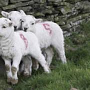 Spring Lambs 2 Art Print